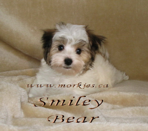 White Morkie Bear is sold to Eva and family at http://www.morkies.ca