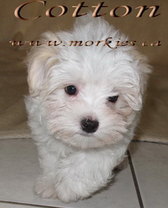 Beautiful Linnois puppy, Cotton adopted to Pam and Jeff at http://www.morkies.ca