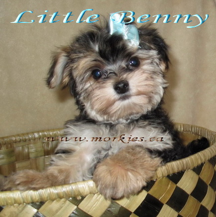 Teacup tri color or black and tan Morkie is sold to Susan from Ottawa