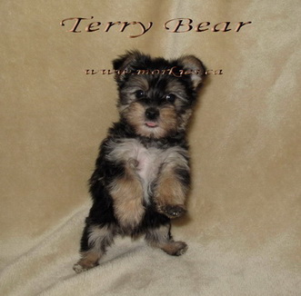 Terry Bear Morkie is talented! Terry is sold.